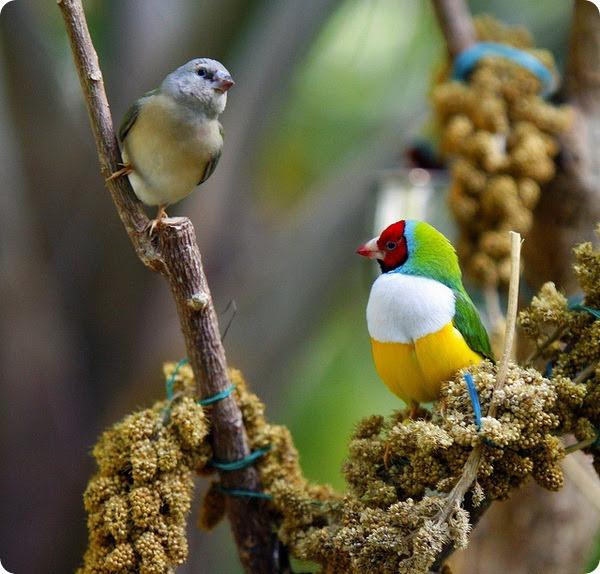 Guldova finch (lat. Chloebia gouldiae)