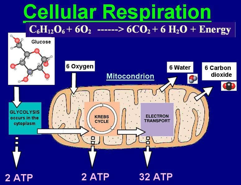 Cellular Aerobic Energy Production (also known as cellular ...