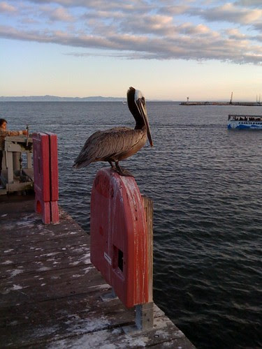 birthday_pelican