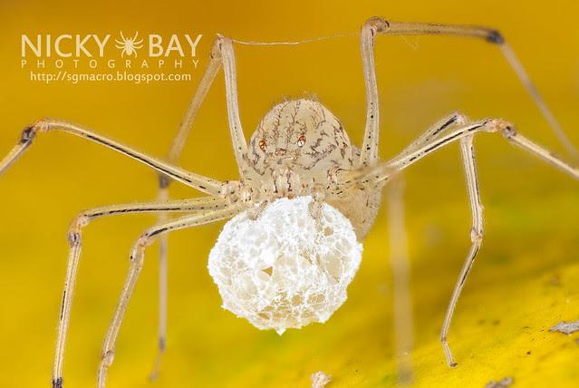Spitting Spider (Scytodidae) - DSC_0113