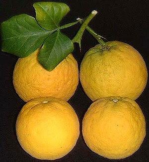 Poncirus trifoliata, Blatt und Früchte.