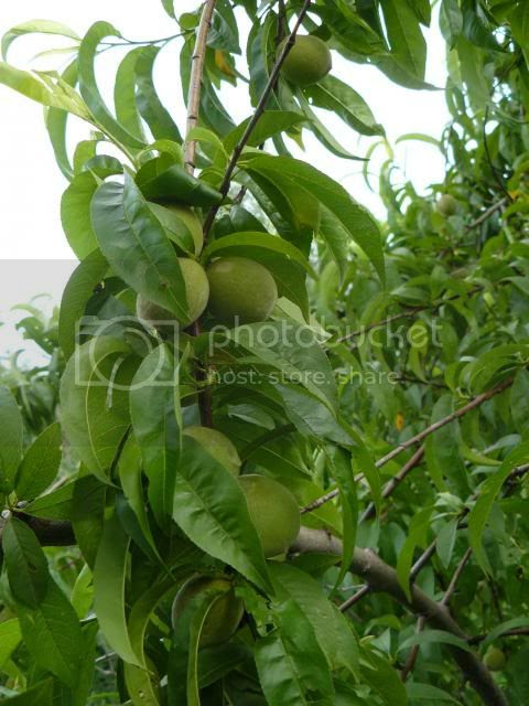 unthinned peaches photo peachesmissedthinning_zps9a4b54dc.jpg