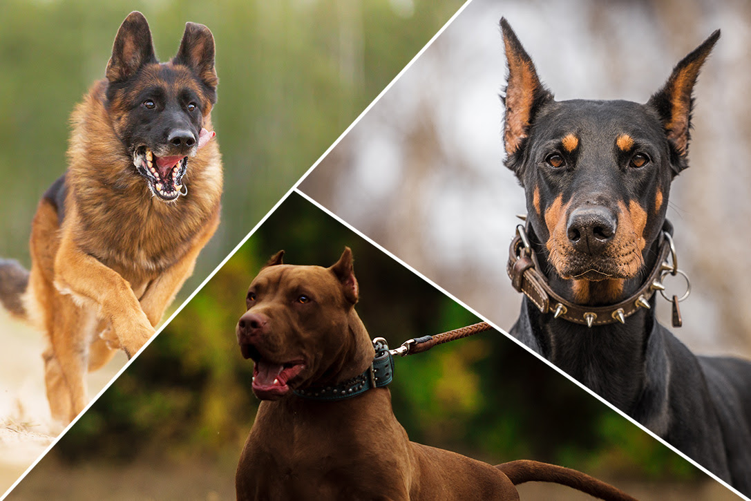 Best Guard Dog Breeds In The World  Breed Dogs Spinningpetsyarn