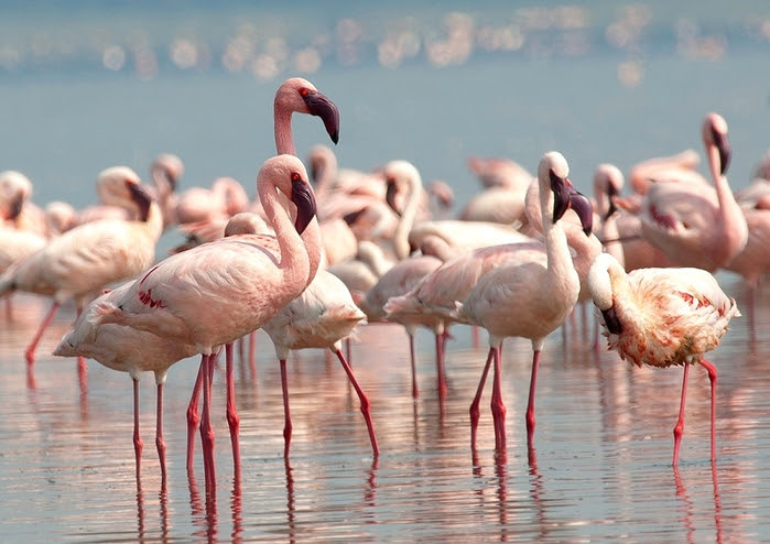 9 Pink flamingos on Lake Nakuru in Kenya (800x594, 359Kb)