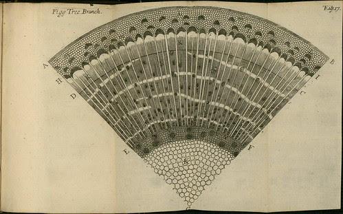 Figg Tree Branch - The comparative anatomy of trunks - Nehemiah Grew 1675
