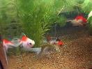 ウチに来た金魚達