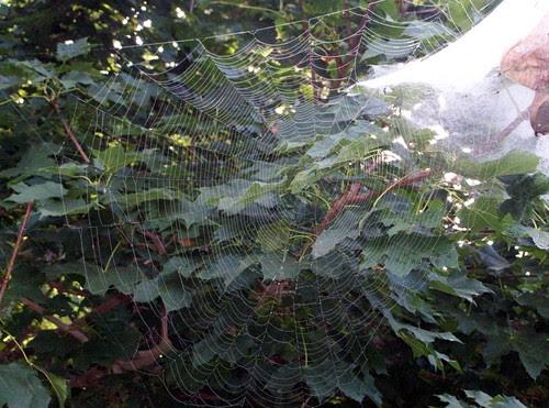 SpiderWeb_810