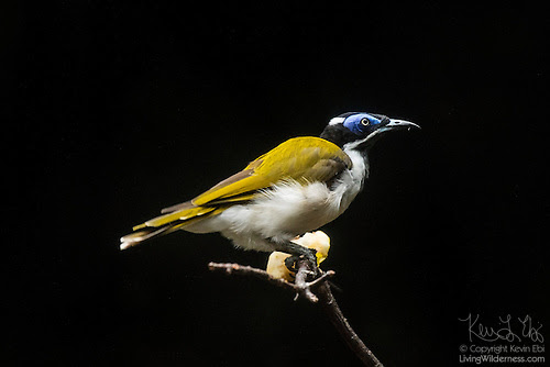 Blue-Faced Honeyeater (Captive)