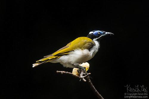 Blue-Faced Honeyeater (Captive)