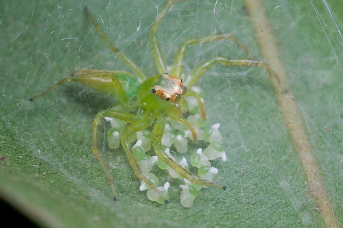 green jumping spider guarding her eggs IMG_8836b copy