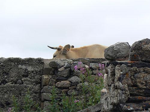 la vache dererière le mur.jpg