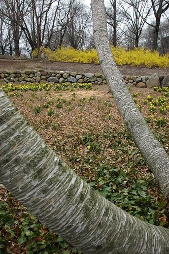 Birch, Daffodils and Forsythia, Osborne Garden, BBG