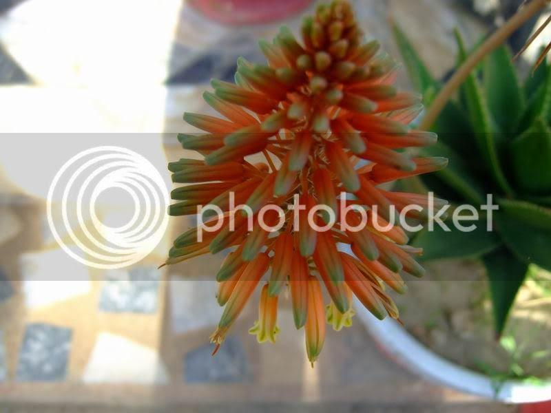 Aloe Vera Blooms-Flowers
