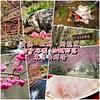 【台中•谷關•松鶴部落】櫻花炸開、只有假日才吃得到的鮮魚料理 - 東昌養鱒場(賞櫻、虹鱒、鱘龍魚)