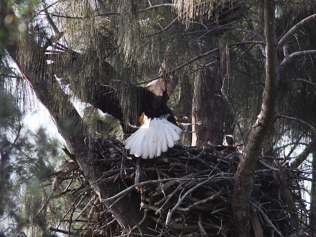 Bald Eagle female brings bird 20140205