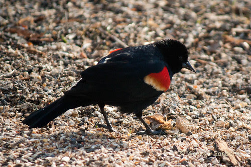 Red-winged blackbirds (8 of 9).jpg