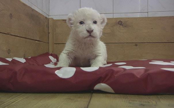 Λευκό λιονταράκι