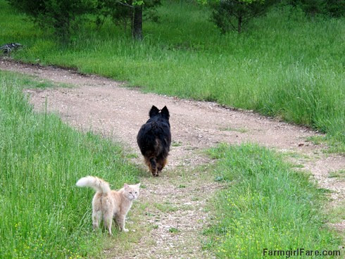 (27-13) Bear and Jasper walking out to the front gate to see if UPS left us a package - FarmgirlFare.com