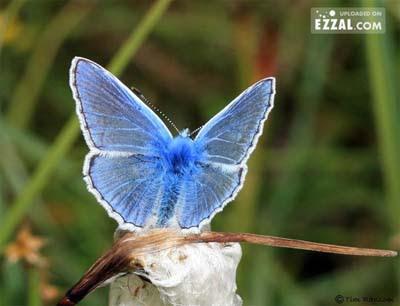 angel butterfly Gambar Rama Rama yang Sangat Cantik dan Menakjubkan
