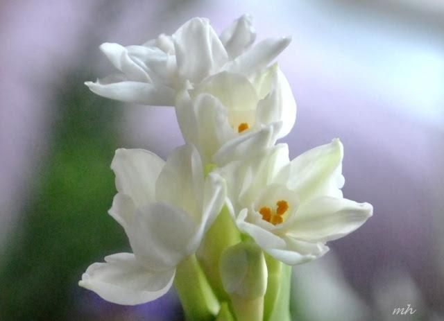 Hoa thủy tiên trắng 2013 (22)