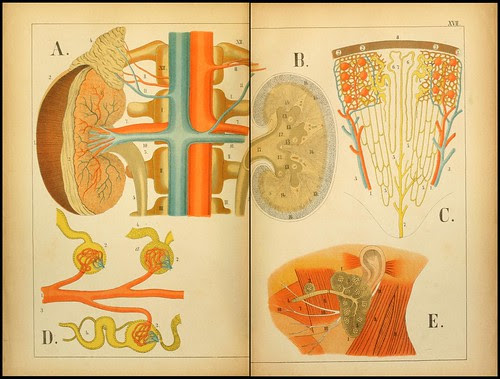 An atlas of Anatomy (FF Miller, 1879) g