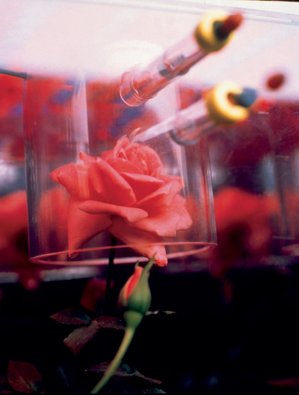 "NASA's ""space rose"". Image: Courtesy NASA"