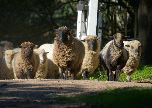 Estancia Dos Lunas: Sheep