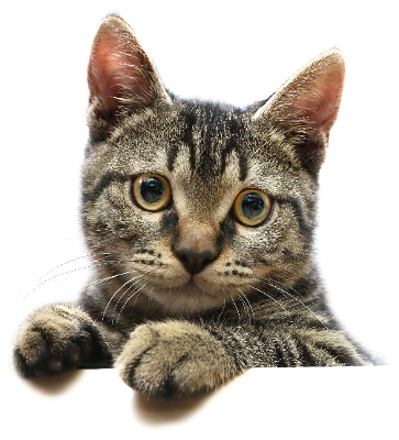 Image result for cat png