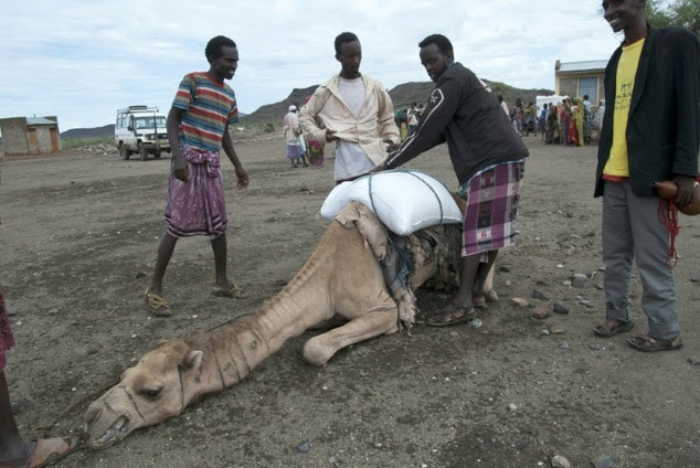 Herders try to help a malnourished camel carry a load in Sitti Zone, one of the areas most affected by the country's worst drought for 30 years