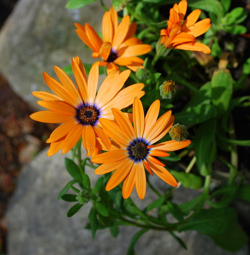 orange daisy group