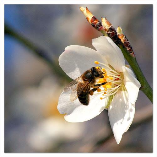 flor de almendro 2011