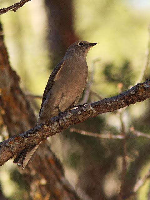 Townsend's Solitaire 20131104