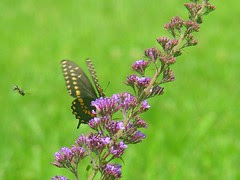 Black Swallowtail on Butterfly bush with wasp