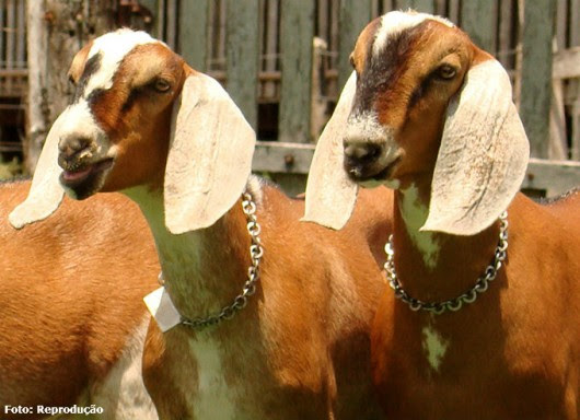 Resultado de imagem para Criação de cabras leiteiras, atividade prazerosa e lucrativa