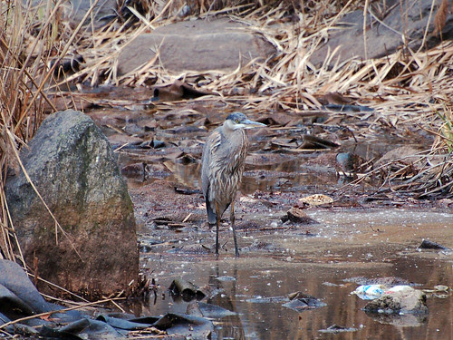 Great Blue Heron in Morningside Park