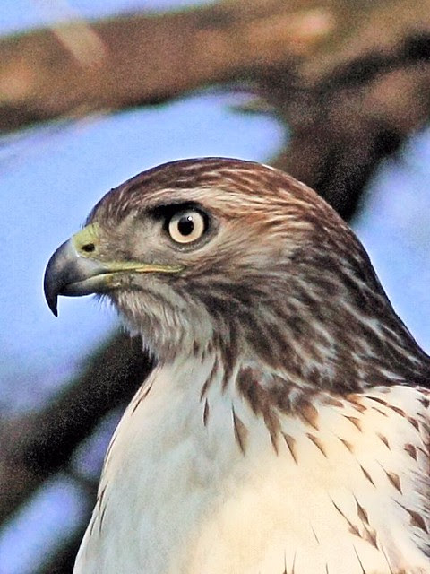 Red-tailed Hawk detail 20121120