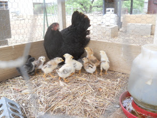 More of the Second Hatching of Chicks in 2014