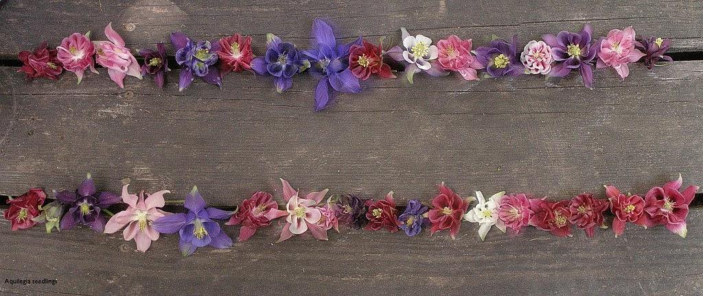 Akeleisämlinge in rosa, weiss, violett, blau ....