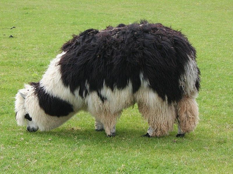 File:Unshorn alpaca grazing.jpg