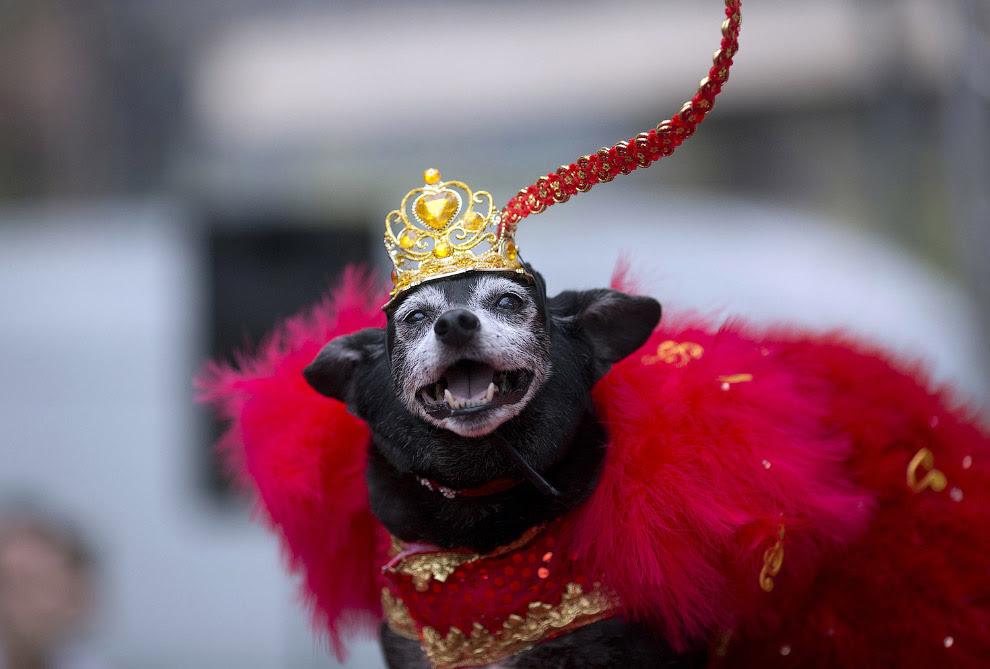 В Рио-де-Жанейро даже собаки носят карнавальные наряды