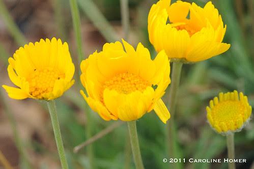 'Four-nerve daisy'