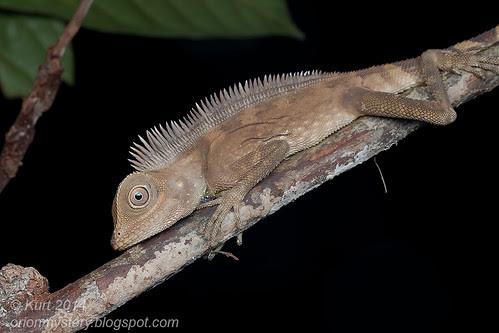 Bell's Anglehead Lizard IMG_6062 copy