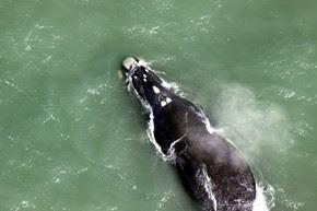 Duas baleias foram reconhecidas pelos pesquisadores (Foto: Paulo Flores/ICMBio/PBF-Brasil)