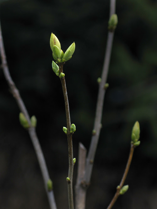 new buds in Kasaan, Alaska