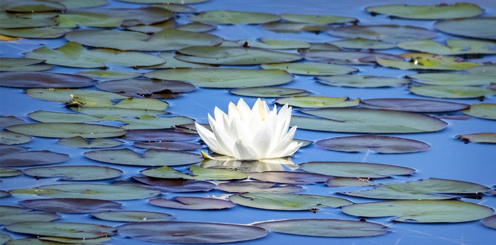 Adirondack Wildflowers White Water Lily Nymphaea Odorata