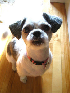 How To Groom A Shih Tzu Dog Grooming Stop