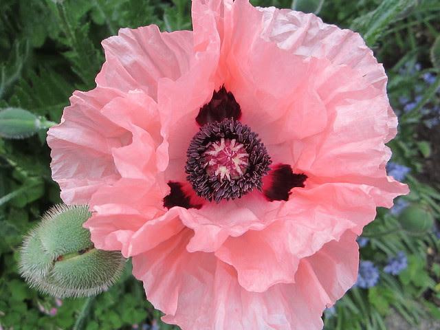 poppies! 002