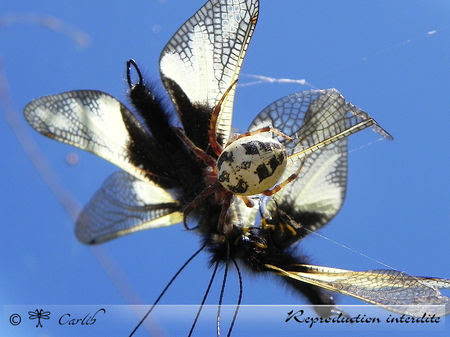 Araig_Larinioides_Cornutus_P022643