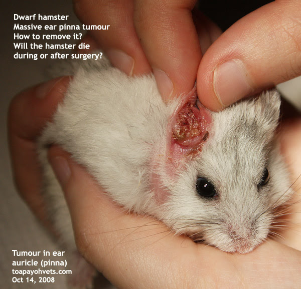 Tumor Hamster Stomach
