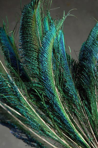 Peacock Sword Feathers 12 20in (Pack of 100) Bulk Buy